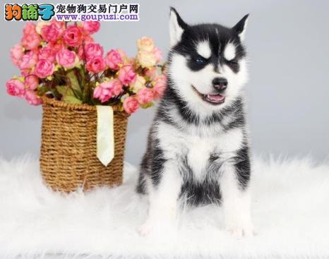 高品质(哈士奇)雪橇犬北京可上门送货外地可办理托运