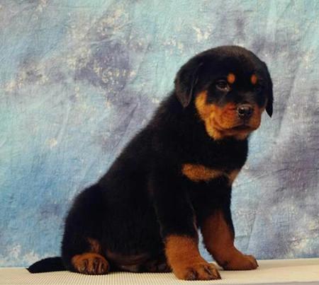 出售·神犬罗罗·血统纯·正保证健康