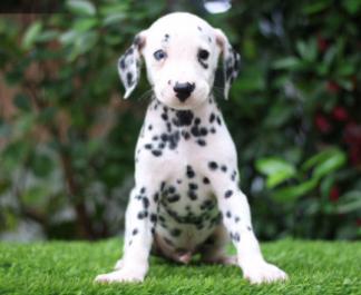 正宗纯种斑点幼犬出售中