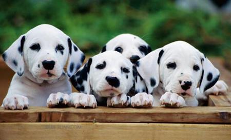 北京地区出售纯种斑点狗大麦町犬