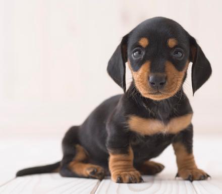 腊肠犬 腊肠犬纯种 腊肠犬纯种幼犬