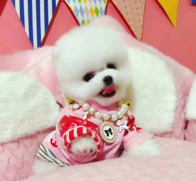 武汉欧尚犬舍出售高品质哈多博美,健康,血统有保证。
