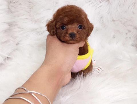 宏泰繁育 高品质韩系棕色茶杯贵宾犬