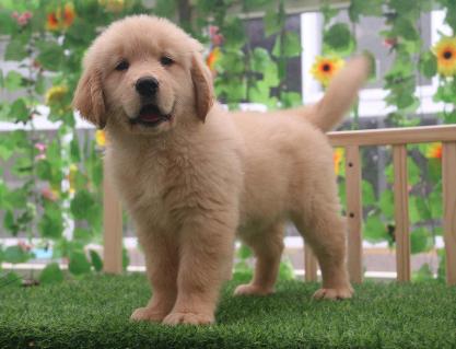 健康高品质 纯种金毛犬 实物拍摄 健康签协。