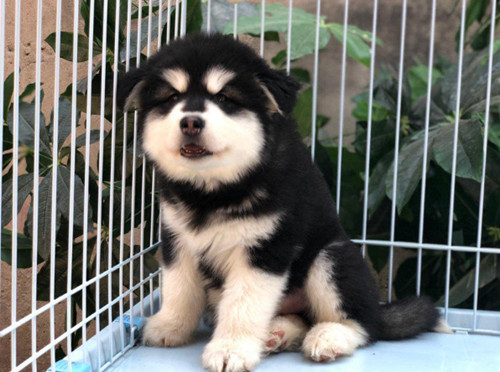 对人类的极端友好的狗狗 阿拉斯加