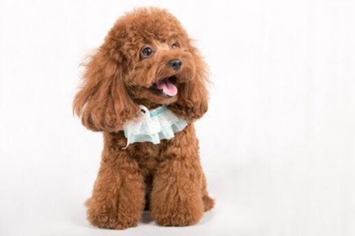 喜欢狗子怕掉毛?为何不选不易掉毛的狗子6
