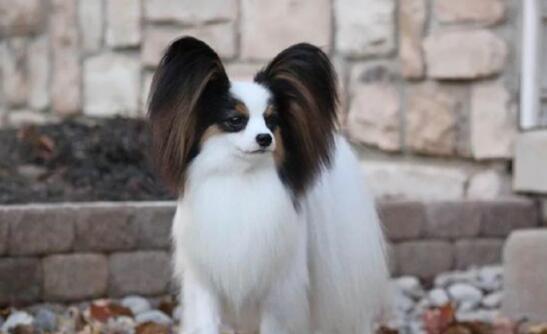 耳朵飘逸的蝴蝶犬,应该如何挑选6