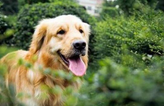 以下6种中大型犬,你想抱谁回去呢5