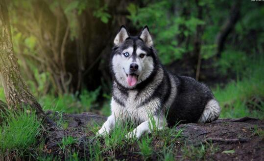 阿拉斯加犬的性格是这样的,总是让人哭笑不得6
