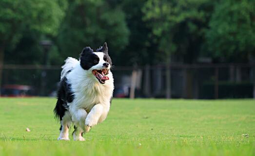 边境牧羊犬智商如此高,怎样训练效果最好6