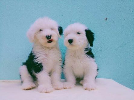 纯种古牧、多乐士广告同款古牧幼犬宝宝出售