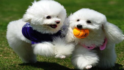 萌萌的贵宾犬要不要养一只呢7