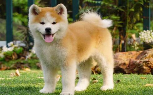 能当小孩子保姆的狗狗---秋田犬5