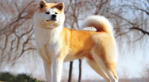 想养一只美系秋田犬,应该怎么挑选呢?7