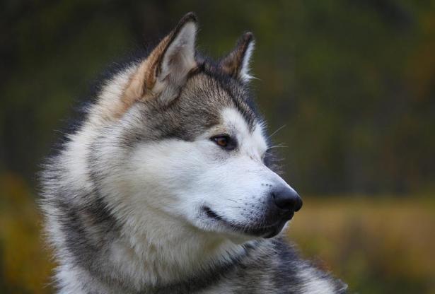 帅气的阿拉斯加在喂食上不能马虎,以下几点需注意5
