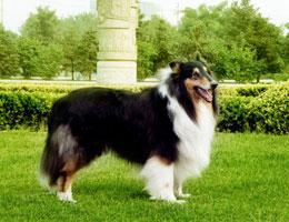 包头苏格兰牧羊犬价格 包头苏格兰牧羊犬多少钱一只 纯种苏格兰牧羊犬幼犬