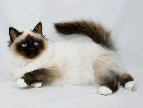 纯种暹罗猫幼猫