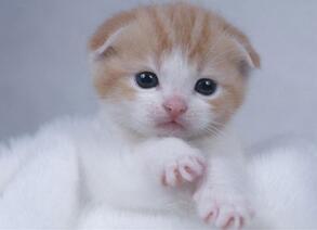 纯种折耳猫幼猫
