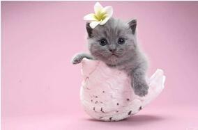 纯种英国短毛猫幼猫