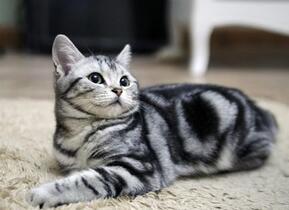 纯种美国短毛猫幼猫