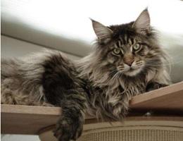 纯种缅因猫幼猫