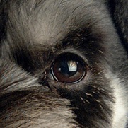 雪纳瑞眼睛图片