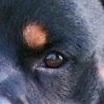 罗威纳犬眼睛图片