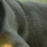 罗威纳犬毛发图片