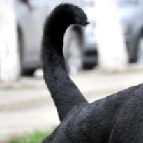 罗威纳犬尾巴图片