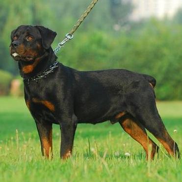 罗威纳犬整体图片