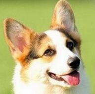 柯基犬头部图片