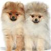 博美犬颜色图片