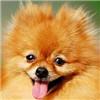 博美犬头部图片