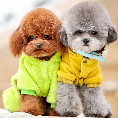 贵宾犬颜色图片