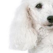 贵宾犬耳朵图片