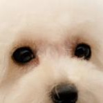 贵宾犬眼睛图片