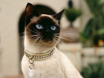 暹罗猫多杀钱一只