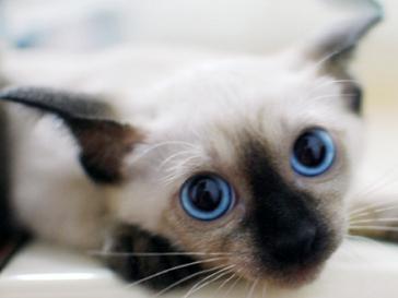 暹罗猫多少钱
