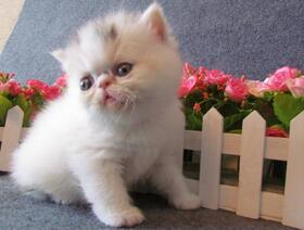 加菲猫价格