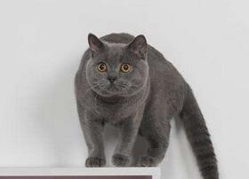 英国短毛猫多少钱