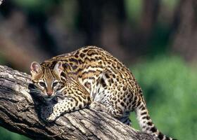豹猫多杀钱一只