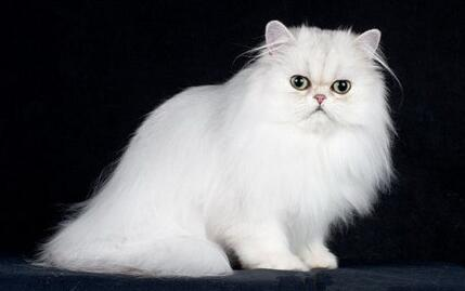 波斯猫多杀钱一只