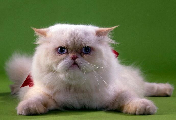 波斯猫多少钱