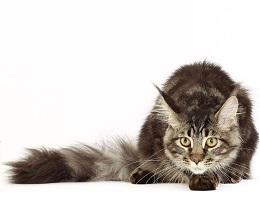 缅因猫多杀钱一只