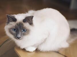 缅甸猫多少钱