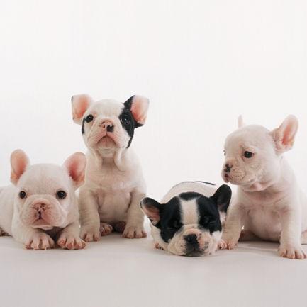 法国斗牛犬颜色图片