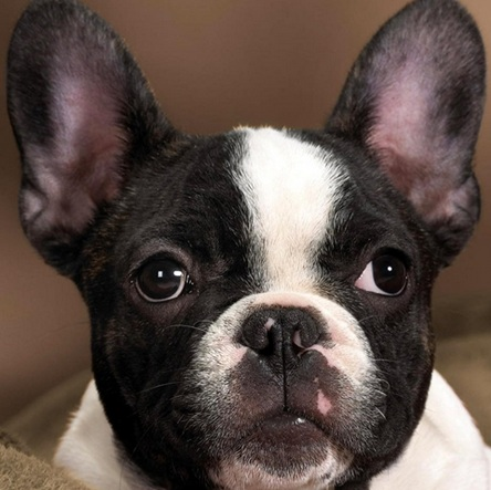 法国斗牛犬头部图片