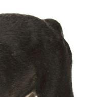 法国斗牛犬尾巴图片