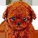 泰迪犬头像