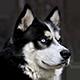 阿拉斯加犬头像